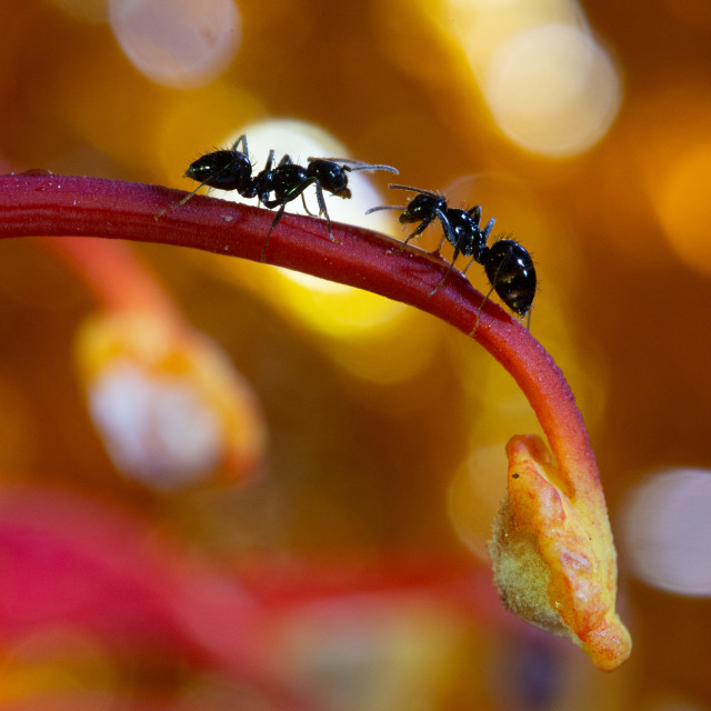 """Ants communicating"" stock image"