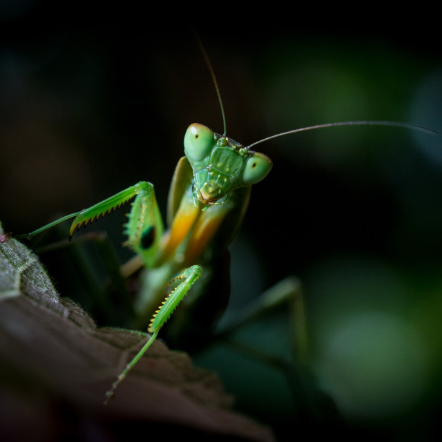 """Prey Mantis"" stock image"
