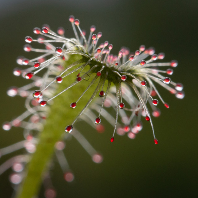 """""""Sundew carnivorous plant"""" stock image"""