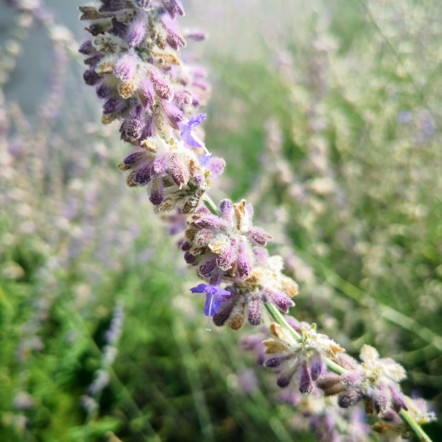 """""""The Russian Sage plant"""" stock image"""