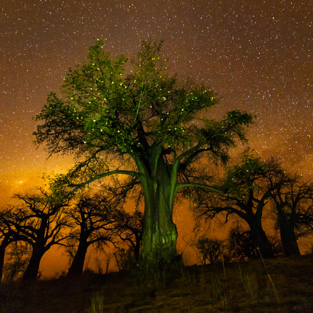 """Baobabs in blossom against the starry sky"" stock image"