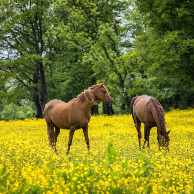 """Horses in Buttercup Field"" stock image"