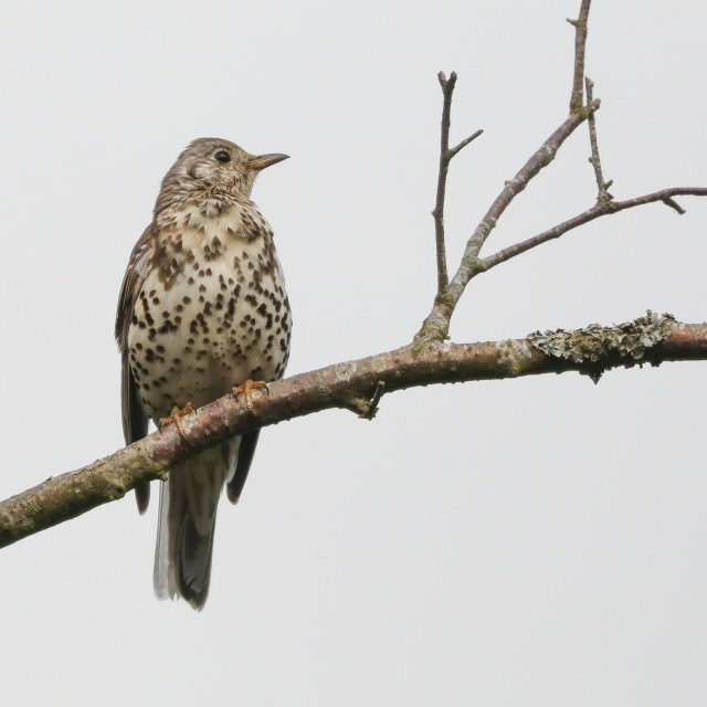 """Mistle Thrush"" stock image"