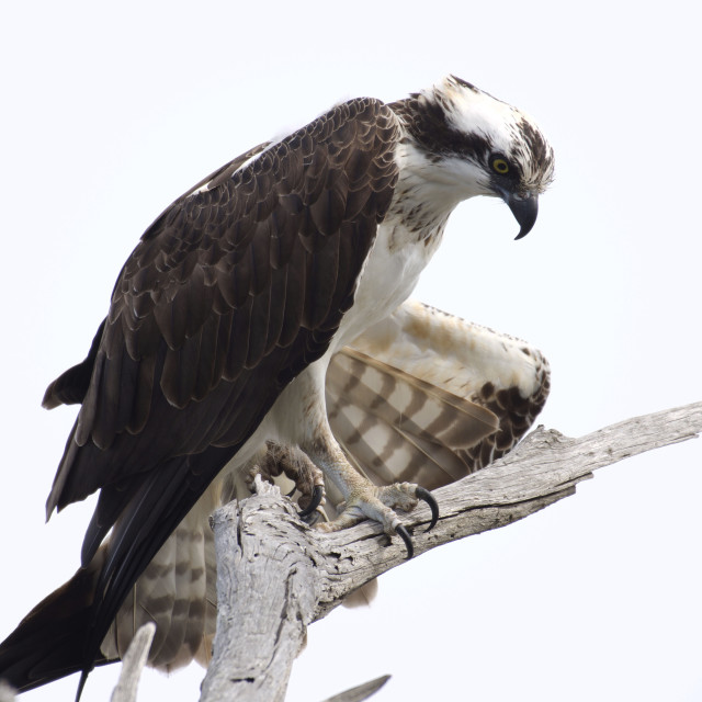 """Osprey looking down"" stock image"