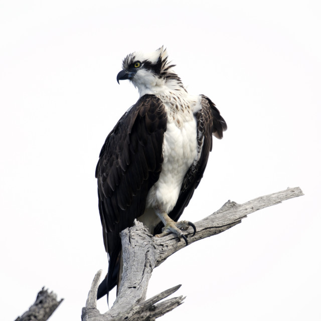 """Side profile of an Osprey"" stock image"