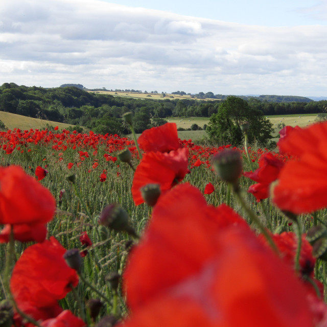 """red poppies and daisies in field"" stock image"