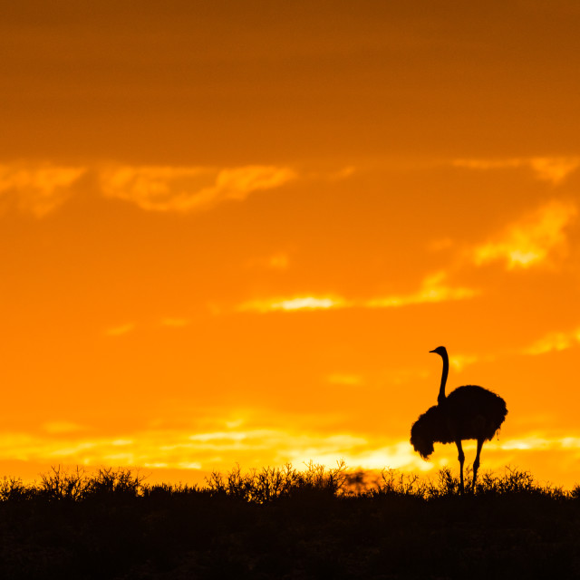 """Ostrich silhouette against the orange sky"" stock image"