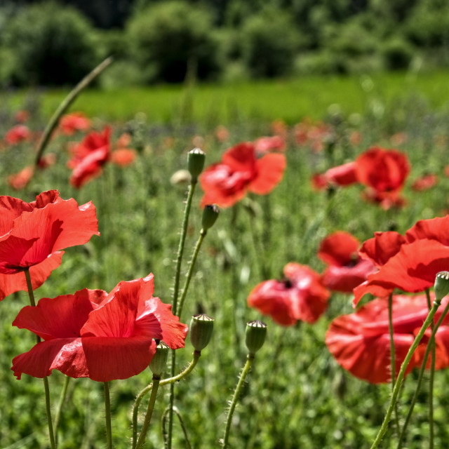 """Poppies in a field in southern France"" stock image"
