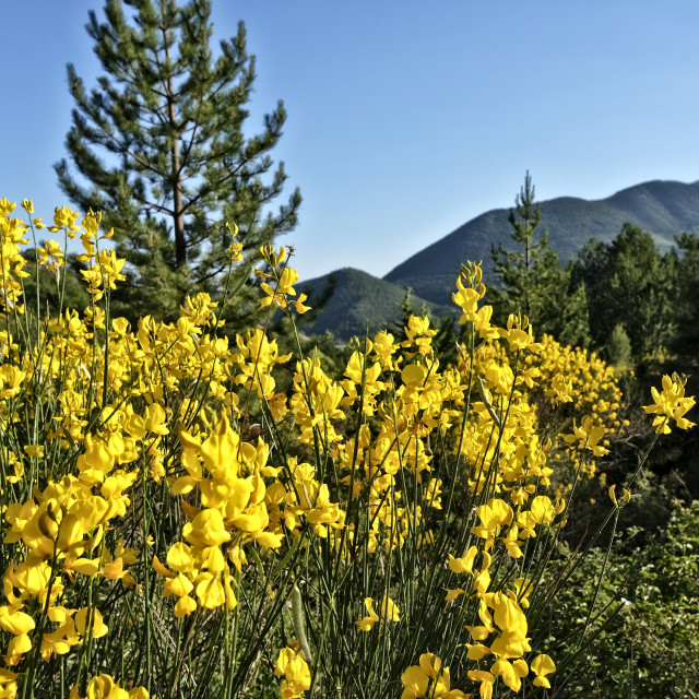 """Bright yellow broom - 'génet' - flowers in French countryside"" stock image"