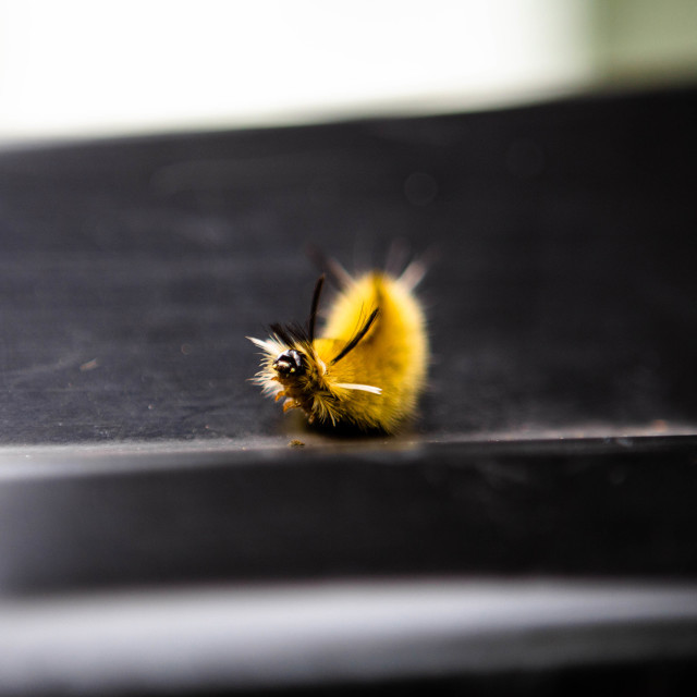 """""""Yellow caterpillar of a banded tussock moth aka pale tiger moth tilting its head back"""" stock image"""