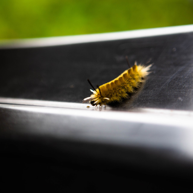"""""""Yellow caterpillar of a banded tussock moth aka pale tiger moth inspecting a small object"""" stock image"""