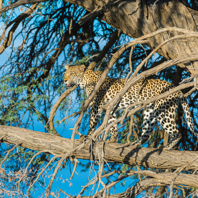 """Leopard scanning from the tree"" stock image"