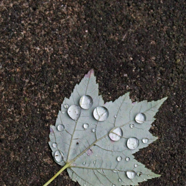 """maple leaf and raindrops"" stock image"