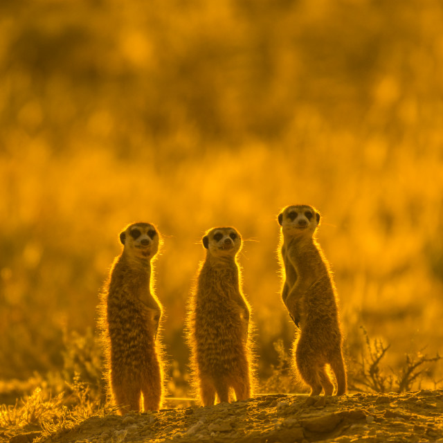 """Three meerkats /suricates"" stock image"