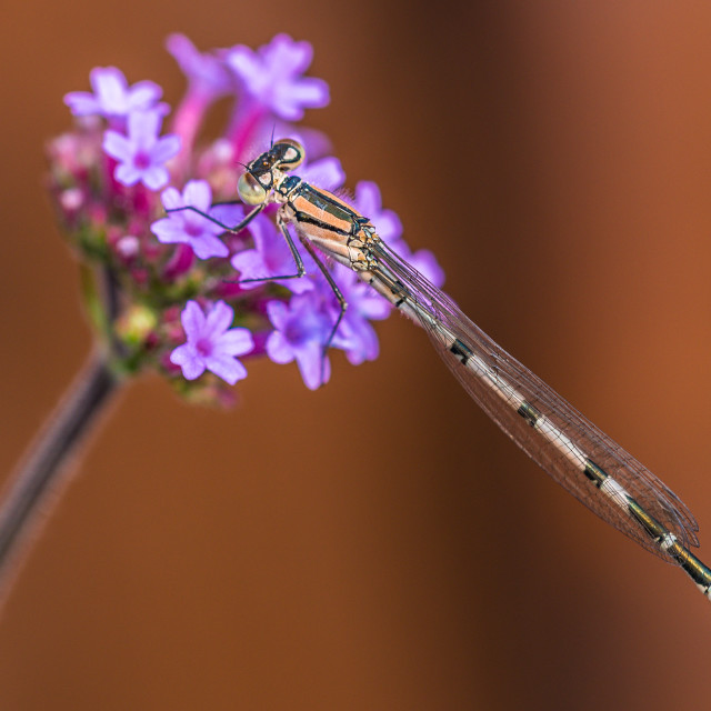 """""""Close-up of a damselfly at rest"""" stock image"""