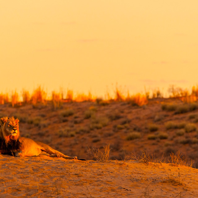 """Lion on the sand dune"" stock image"