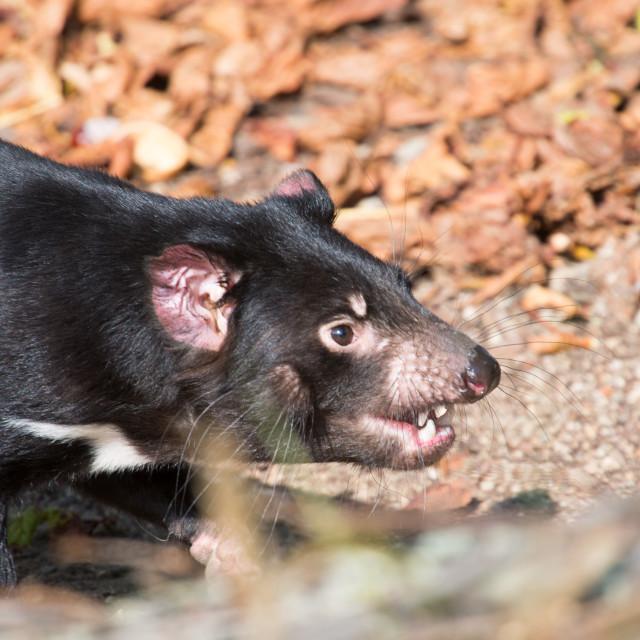 """""""Tasmanian devil, Sarcophilus harrisii"""" stock image"""
