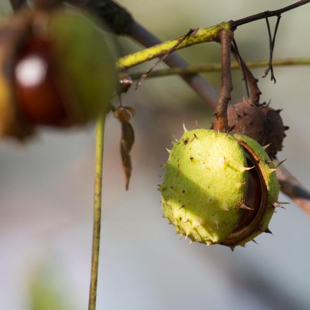 """""""Horse-chestnut, Aesculus hippocastanum"""" stock image"""