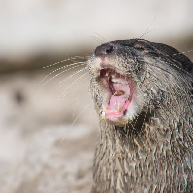 """Asian small-clawed otter, Amblonyx cinerea"" stock image"