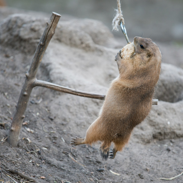 """Prairie dog clinging to its food"" stock image"