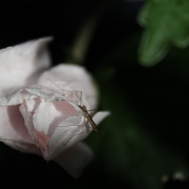 """rose of sharon flower and a bug"" stock image"