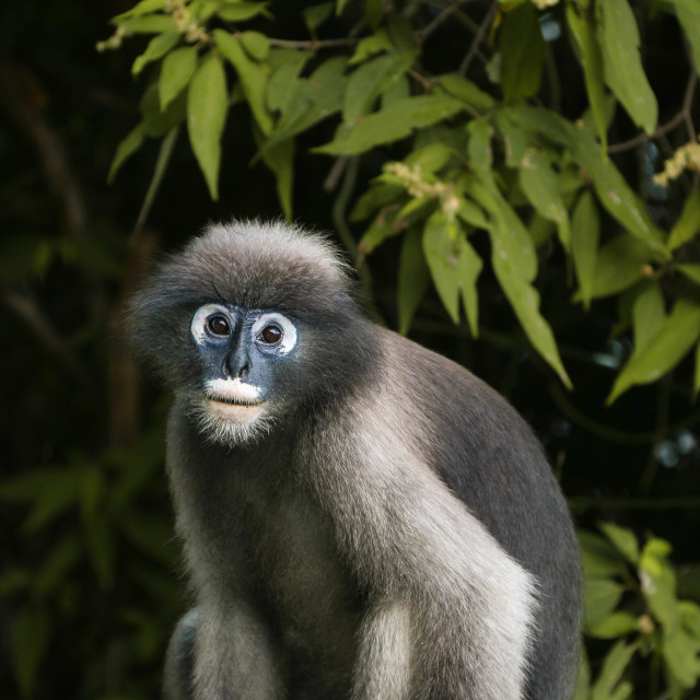 """A dusky leef monkey in the Thailand jungle"" stock image"