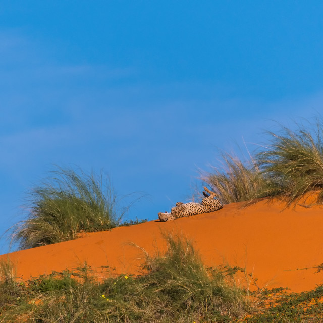 """Cheetah resting on the dune"" stock image"