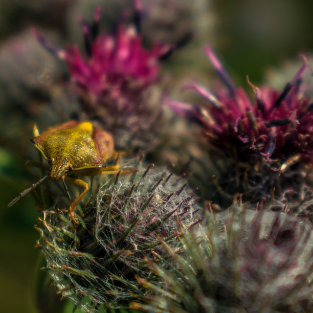 """Shield bug on burdock flower"" stock image"