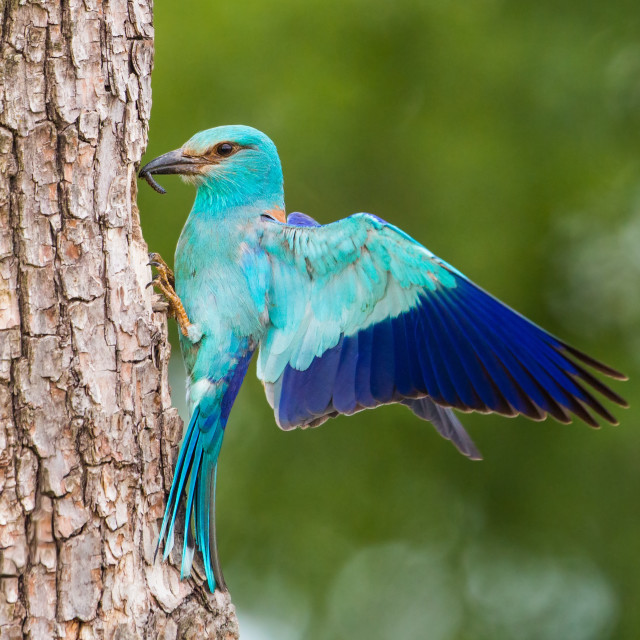 """European roller sitting on bark of tree with spread wings in the summer."" stock image"