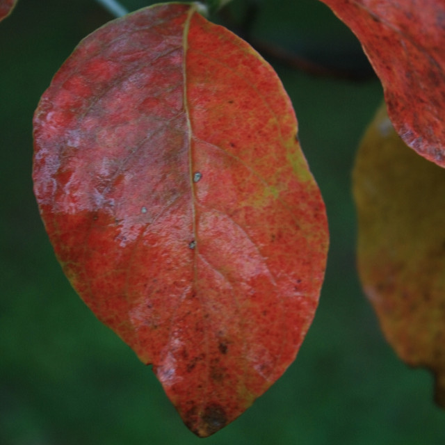 """""""red dogwood leaves"""" stock image"""