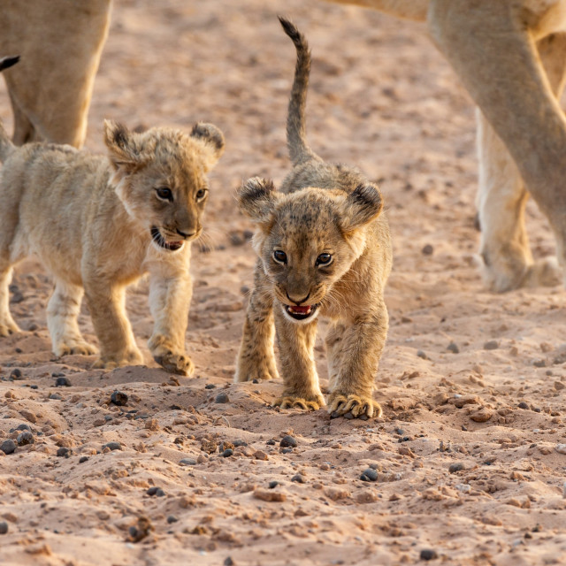 """Two lion cubs walking"" stock image"