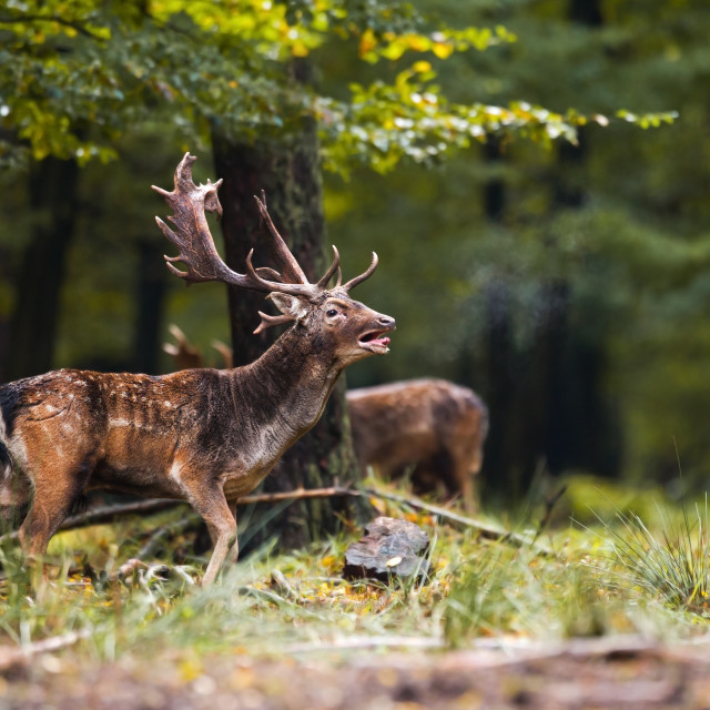 """""""Fallow deer roaring with the female sniffing in the forest in the rutting season"""" stock image"""