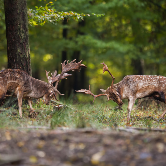 """""""Two fallow deer fighting against each other in forest with copyspace."""" stock image"""