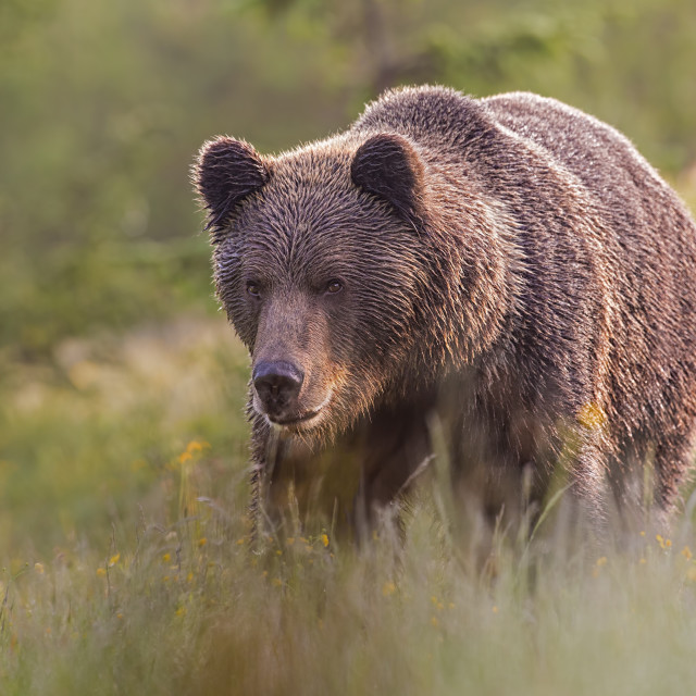 """""""Male brown bear standing on the meadow in the summer with blurred background."""" stock image"""