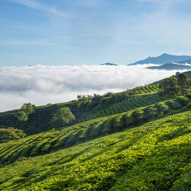 """The morning at Cau Dat tea farm at Lam Dong province."" stock image"