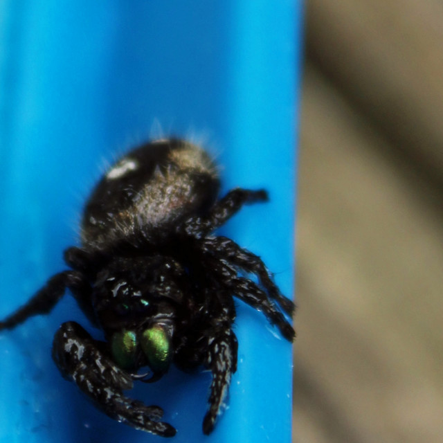 """""""black spider cleaning itself"""" stock image"""
