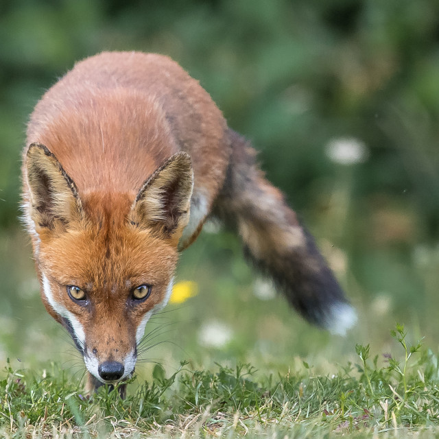 """Red fox (Vulpes vulpes)"" stock image"