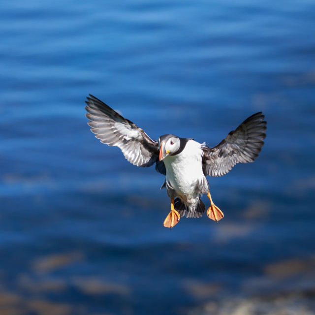 """An Atlantic puffin coming in to land"" stock image"