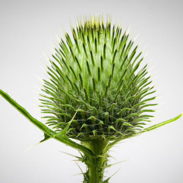 """Yellow Thistle"" stock image"