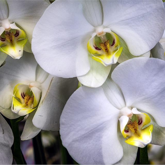 """Orquídeas"" stock image"
