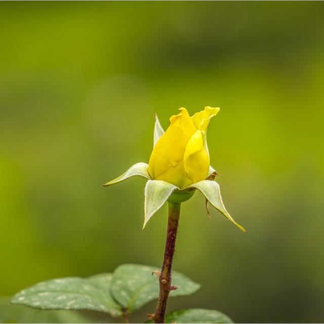 """Rosa"" stock image"