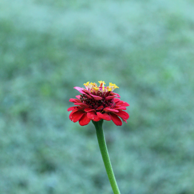 """""""red and yellow flower"""" stock image"""