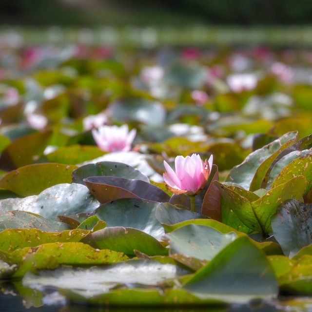"""""""Water Lily 2"""" stock image"""