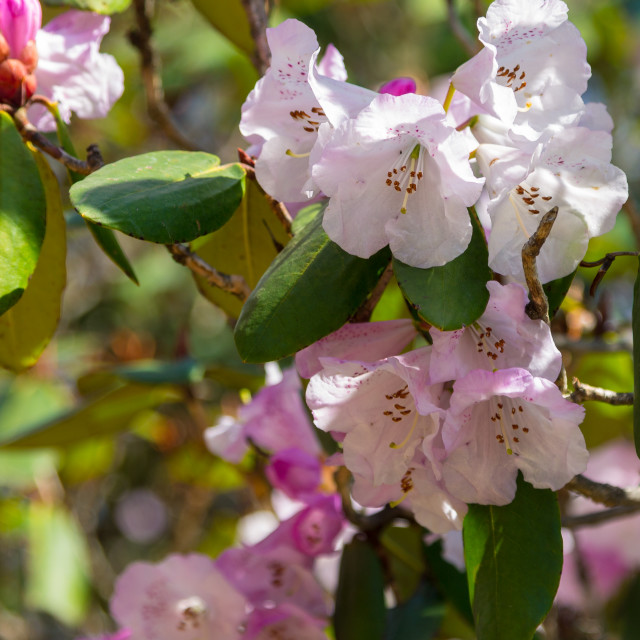 """""""Pastel pink rhododendron flowers of the Everest Region"""" stock image"""