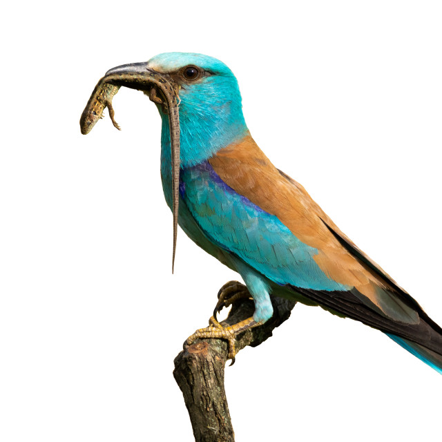 """Side view of european roller sitting on a perch holding lizard isolated on white"" stock image"