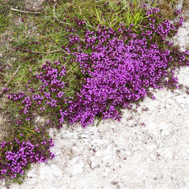 """""""Wild Thyme in Flower"""" stock image"""