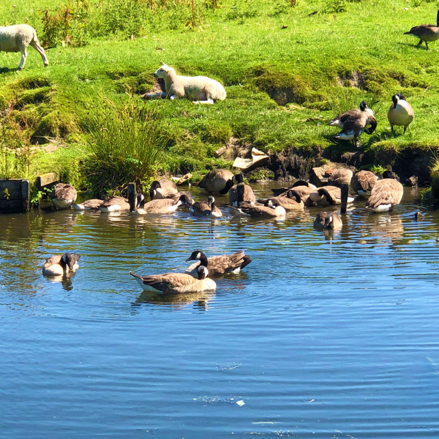 """Ducks enjoying the hot weather!"" stock image"