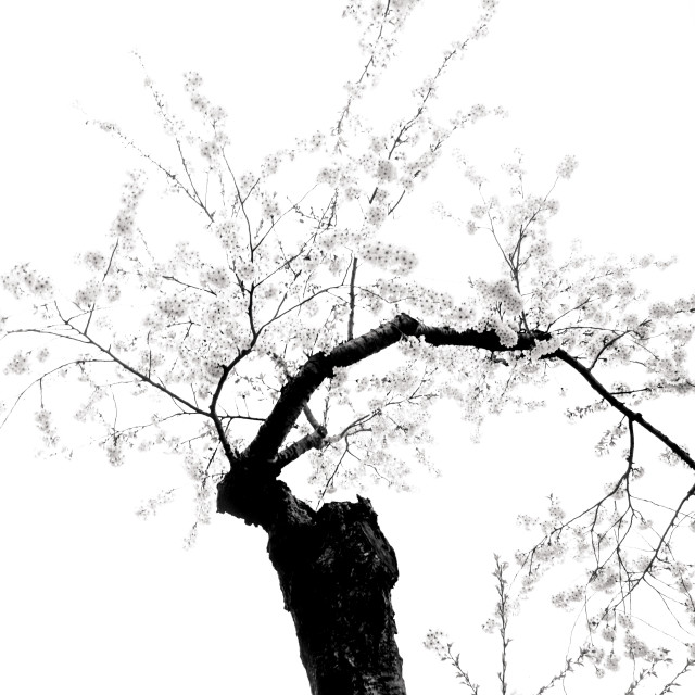 """A blossom tree"" stock image"