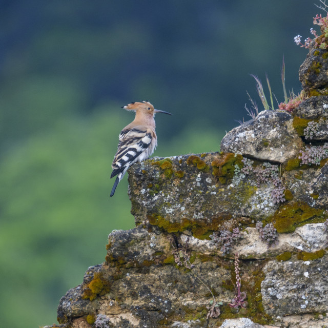 """""""A hoopoe bird sitting/resting on an old stone wall"""" stock image"""