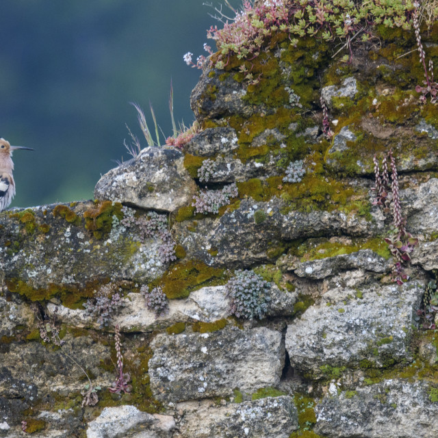 """""""A hoopoe bird resting on an old stone wall."""" stock image"""